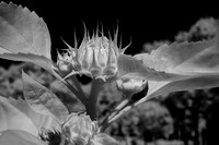 Closeup_Infrared Image of Flower