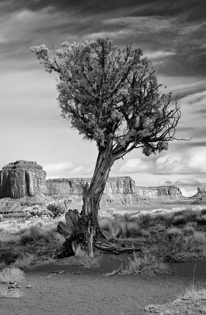 Tree at Monument Valley
